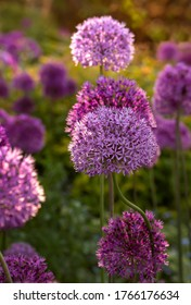 Blooming purple allium flowers (allium cristophil)  and yarrow on evening day in the garden. Concept of gardening, the cultivation of bulbous plants.Soft focus