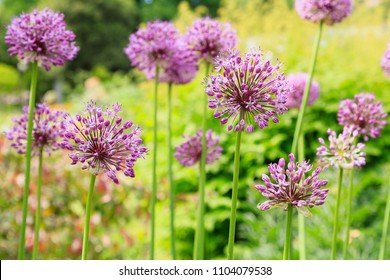 Blooming purple allium flowers (allium giganteum) on a sunny day in the garden. the concept of gardening, the cultivation of bulbous rastenii