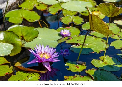 Blooming purple colored Water Lilly at Brahmavihara Arama, Buddhist complex. Buleleng, Bali, Indonesia.