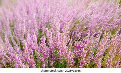 Blooming purple common heather, close-up. Calluna vulgaris. Flowers background. Vibrant pink heather blossoming outdoors. Purple heather flowers close up. Common heather, macro, background.