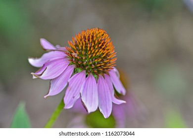 Blooming purple coneflower (echinacea purpurea) on a soft colourful background