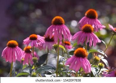 Blooming  purple coneflower. Echinacea purpurea ,eastern purple coneflower or  hedgehog coneflower. Place for text.