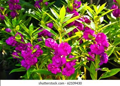 Blooming of Purple Impatiens balsamina