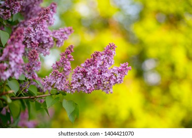 blooming purple lilac bush in spring