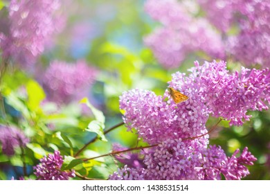 Blooming purple lilac closeup. The concept of beautiful summer flowering, natural beauty. Springtime and summer. Space for text, floral background.
