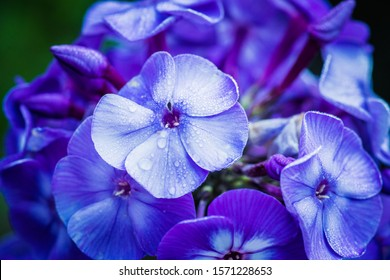 """Blooming purple phlox """"Blue Paradise"""" in the garden. Shallow depth of field."""
