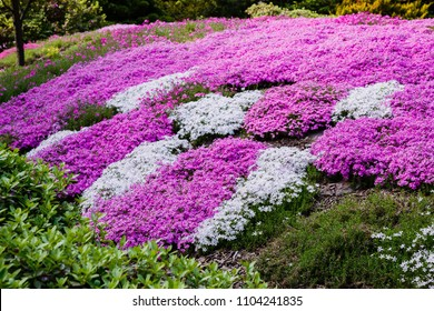 Blooming purple, pink, white Phlox subulate in landscape design. Decorative ground cover plant Phlox subulate in the garden. The concept of gardening.