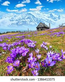 Blühende violette Crocus alpine Blumen auf dem Frühlingsplateau mit Blick auf schneebedeckte Berggipfel. Vertikal hochauflösendes Composite-Bild mit beträchtlicher Schärfe im Feld.