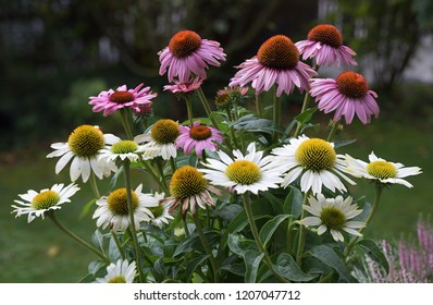 blooming purple and white coneflower in the garden. medical plant