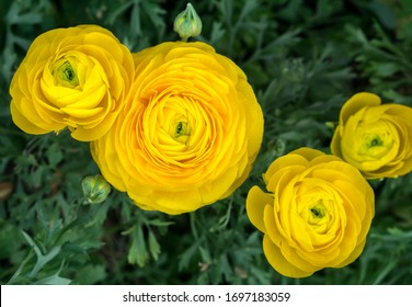 Blooming ranunculus, yellow colour, leaves.