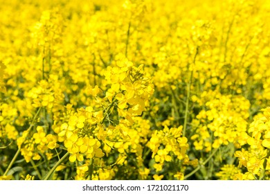 Blooming rapeseed in the field