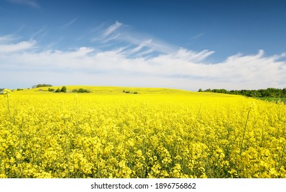 Blooming rapeseed field. Clear blue sky with glowing clouds. Cloudscape. Rural scene. Agriculture, biotechnology, fuel, food industry, alternative energy, environmental conservation. Panoramic view