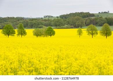 Blooming rapeseed field in Eastern Germany