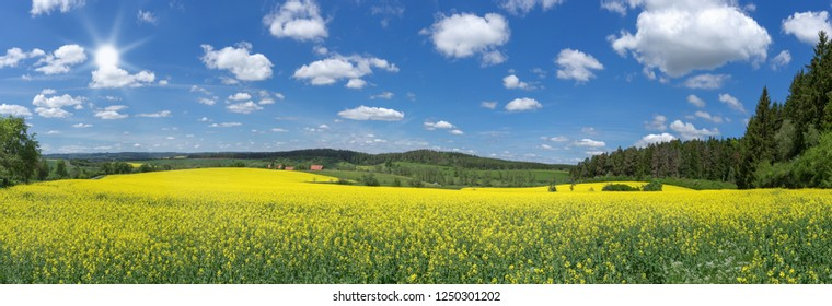 Blooming rapeseed field in picturesque, rural landscape with blue and white sky and sun - panorama