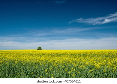 blooming rapeseed in the fields - copy space
