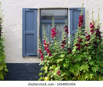 Blooming red and burgundy hollyhocks (Alcea rosea or Althaea rosea) in front of traditional blue painted window with shutters and white painted brick wall with black baseboard on an sunny day in June