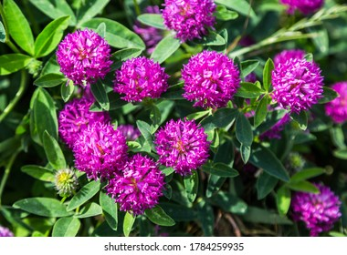 Blooming red clover medicinal plant. Herbal medicine. Selective focus
