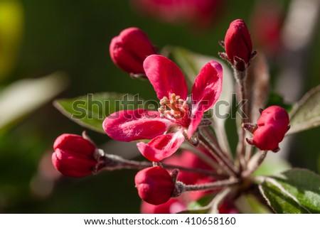 Blooming red flower yellow stamens stock photo edit now 410658160 blooming red flower with yellow stamens mightylinksfo