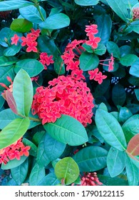 Blooming red flowers (Ixora chinensis) and green leaves background. Ixora chinensis, commonly known as Chinese ixora, is a species of plant of the genus Ixora.