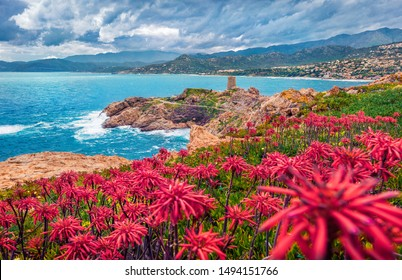 Blooming red flowers on de la Pietra cape with Genoise de la Pietra a L'ile-Rousse tower on background. Gloomy summer scene of Corsica island, France, Europe. Traveling concept background.