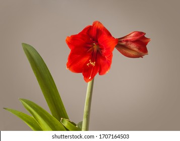 """Blooming red Hippeastrum (amaryllis) """"Missing Angel"""" Galaxy Group  on a grey background"""