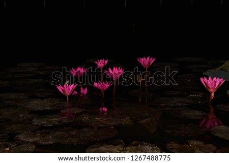 Blooming Red Lotus Flowers Night Stock Photo Edit Now 1267488775
