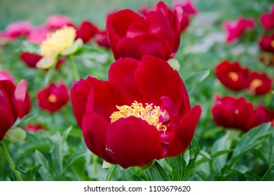 Blooming red peonies field