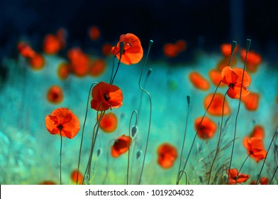 Blooming red poppies in a field in spring in nature on a turquoise background with soft focus, macro. Photo with authoring processing and toning. Bright colorful artistic image, floral background