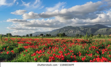 Blooming red poppy flowers. Italian landscape in the summer. Wonderful day. Great scenery. Nice view