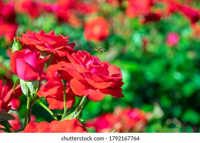 blooming red rose bush in the garden close up