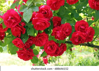 Blooming red roses branch