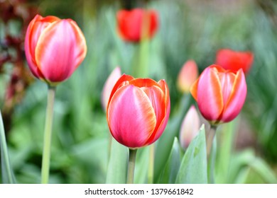 Blooming Red Tulips with yellow purl