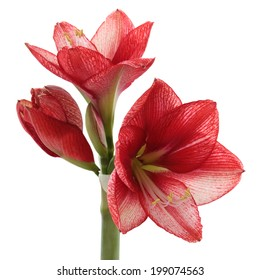 A Blooming Red and White Amaryllis Isolated on White
