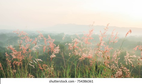 Blooming reed flower Postcard/ Blooming reed flower - Tainan, Taiwan the pink flowers bloom luxuriantly- Tainan, Taiwan the flowers bloom luxuriantly
