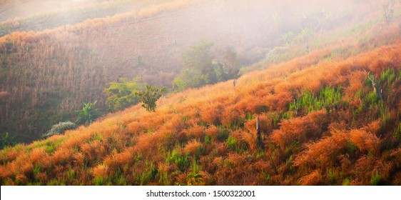 Blooming reed flowers on corn terraces after harvesting, abstract orange reed flowers are in bloom in the morning mist.
