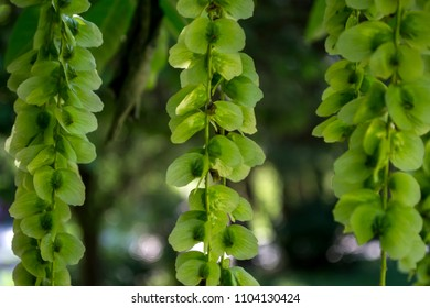 Blooming relict plant. Green natural background.