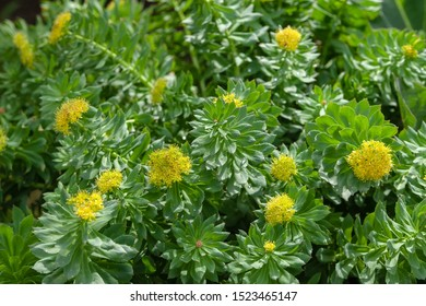 Blooming Rhodiola rosea. Blooming rich bushes of Rhodiola rosea, close-up. Medicinal plant Golden root. Selective focus.