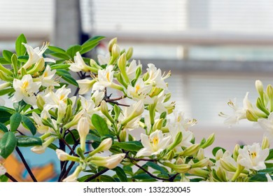Blooming rhododendron of the Perlite species.