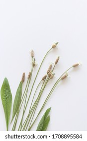 Blooming Ribwort Plantain, Plantago lanceolata narrow-leaf plantain, ribleaf herb isolated on a white background. Ribwort Plantain is a natural herbal remedy for cough and respiratory tract problems.