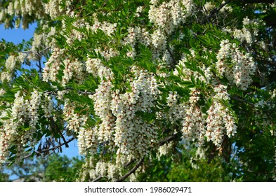 Blooming robinia pseudoacacia in early summer.
