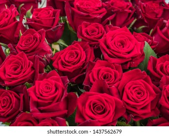 """Blooming romantic fresh red roses. Flower rose """"Grande Amore"""" on the green and ohers roses background"""