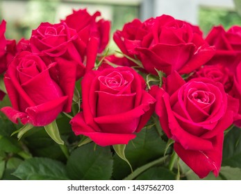 """Blooming romantic fresh rouge rose. Flower rose """"Shangri La"""" on the green and ohers roses background"""