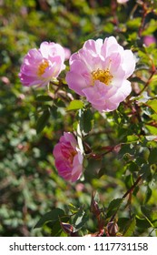 Blooming rosa canina or dog rose pink flowers in sunlight