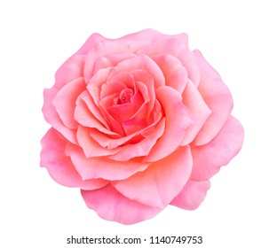 Blooming rose, soft pink rose flower isolated on white