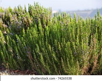 Blooming Rosemary ( Rosmarinus Officinalis)