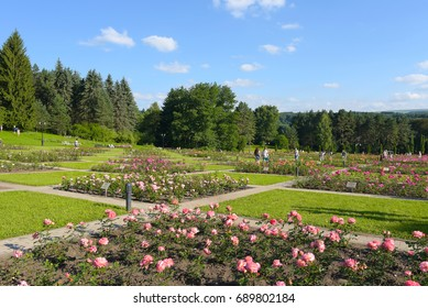 Blooming roses in flowerbeds in the rose Valley. Kislovodsk Resort Park. The Caucasus mountains.