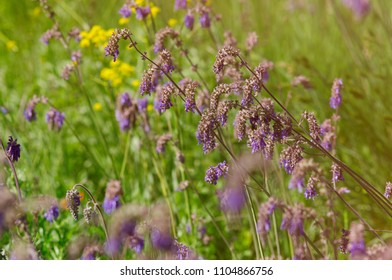 Blooming sage. Picturesque steppe landscape