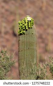 Blooming  Saguaro (Carnegiea gigantea), flowers appear in April through June. Saguaro National Park, Sonora Desert, Arizona, Tucson, USA.