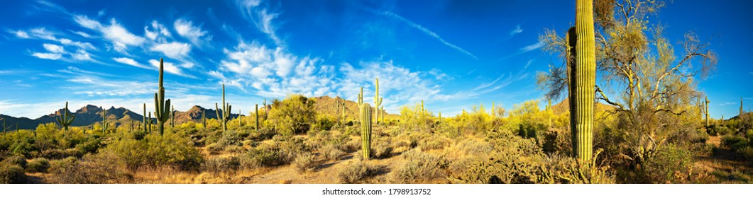 Blooming Saguaro at sunrise, in Bulldog Canyon, Goldfield Mountains.