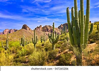 Blooming Saguaros in Sonoran Desert, Arizona.
